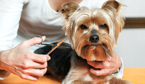 bigstock-Female-Hand-Trimming-Dogs-Hair-67312507