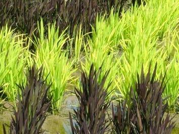rice-patty-art-6-e1373259449895