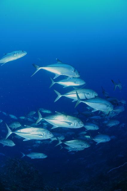 アポ島マムサポイントのギンガメアジの群れ
