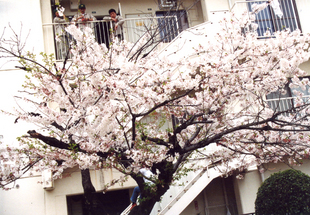 在りし日桜