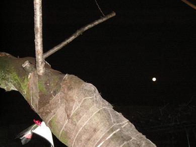 十六夜桜木