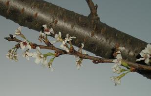 4.19みまもり桜