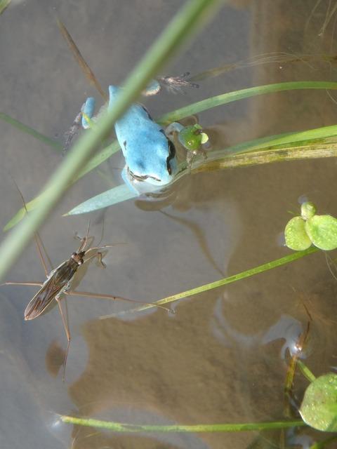 水色カエル1