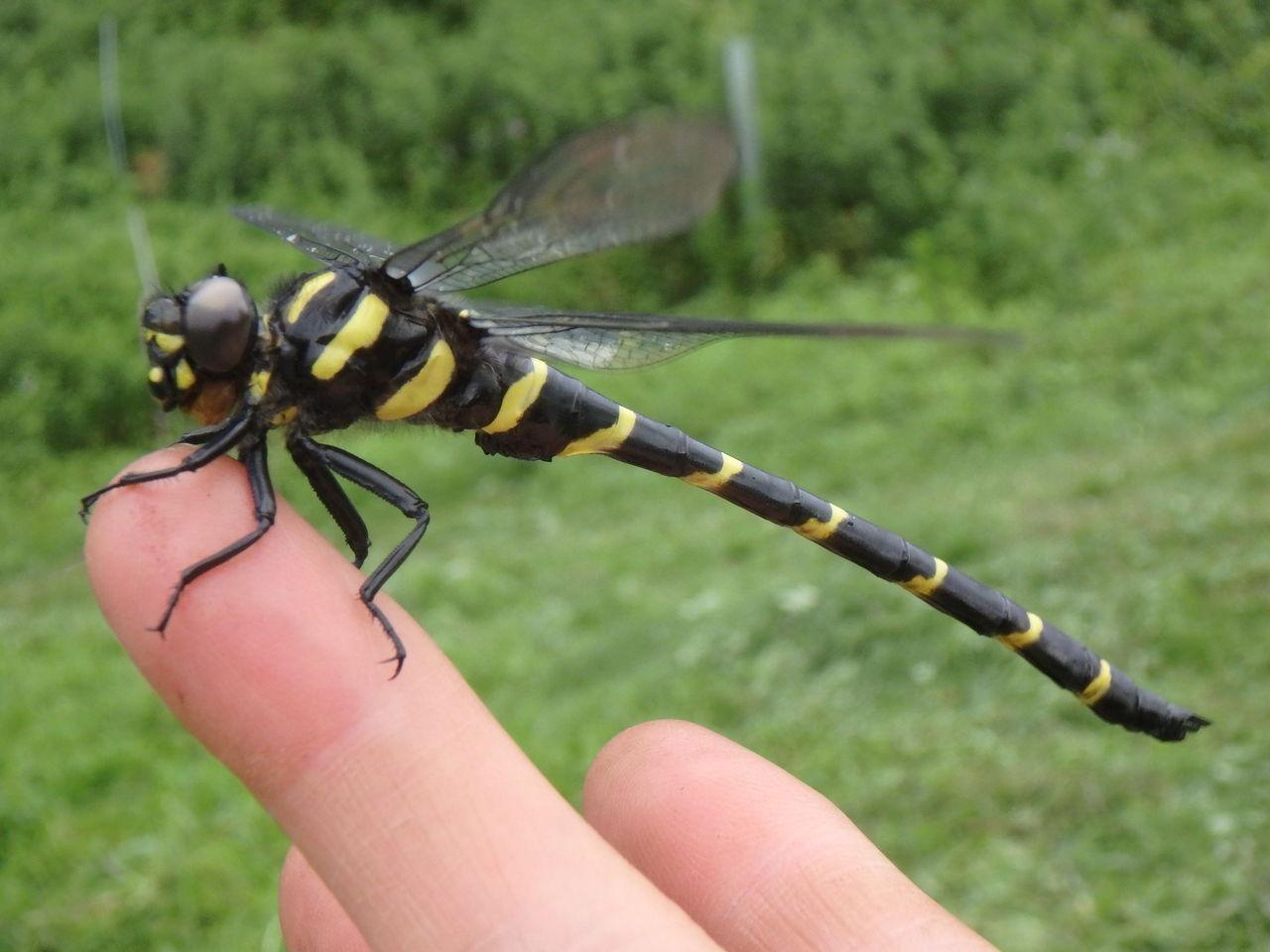 とんぼ 蜻蛉 幼虫 餌 羽化 期間