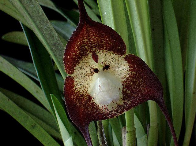 monkey orchid 3