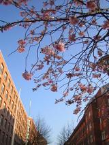 海外で初めての桜