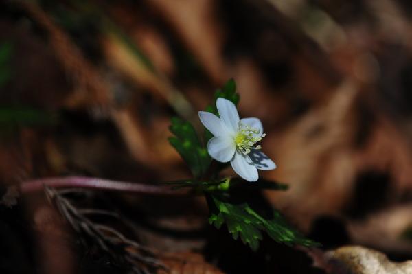 六花弁のニリンソウ