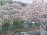 沼田の桜�