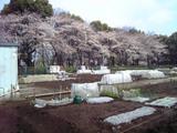 桜と区民農園