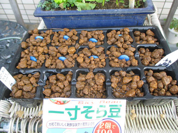 ソラマメ種蒔き2015.10.30