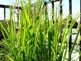 コシヒカリバルコニー菜園09.08.28.jpg