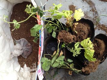 野菜苗2014.06.24.jpg