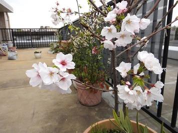 桜23020.03.27