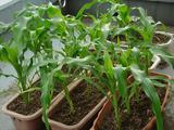 プランター栽培トウモロコシ2012.06.17