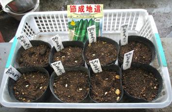 「七夕キュウリ」種蒔き2014.07.07.jpg