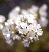 挿し木桜開花