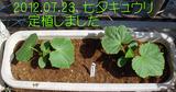 七夕キュウリ定植2012.07.23