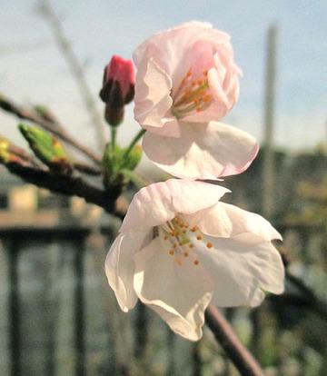 桜開花201403.29.jpg