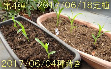 ハニーバンタム定植2017.06.18