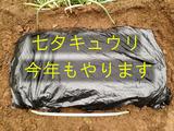 七夕キュウリ2013.06.24.