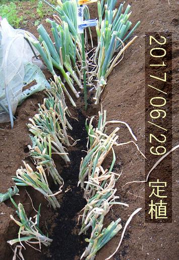 九条太ネギ定植2017.06.29