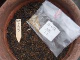 ルッコラ種まき2010.06.27.jpg