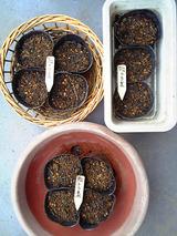 [トラ豆]種蒔き07.07.12.