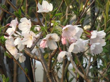 鉢植え桜2016.03.30