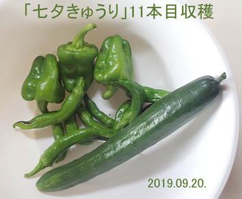 「七夕きゅうり」11本目2019.09.20