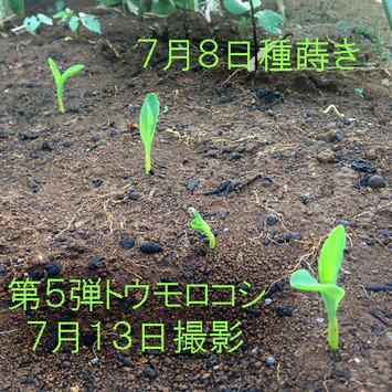 第5弾トウモロコシ発芽