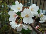 桜2013.03.25