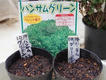 ハンサムグリーン種蒔き2020.10.14
