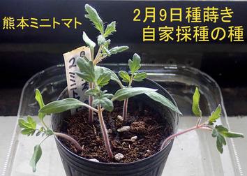 熊本ミニトマト2020.03.07