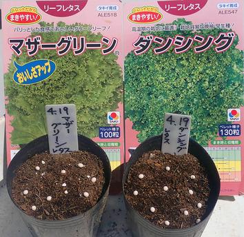 レタス種蒔き-12020.04.19