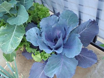 紫きゃべつ2019.05.25