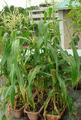 プランター栽培トウモロコシ2012.07.22