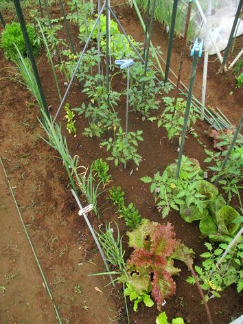 トマト畝2020.05.20