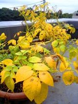ジャガイモ黄葉