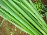 細ねぎ収穫2011.10.21