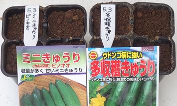 キュウリ種蒔き2019.05.05