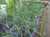 畑タマネギ07.04.19.