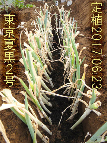 東京夏黒2号2017.06.23