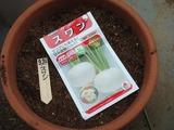 スワン種蒔き2013.03.24