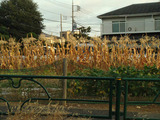 枯れたトウモロコシ20132.08.28.