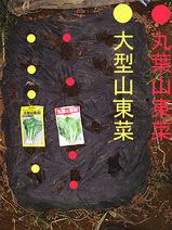 山東菜2種類種まき08.09.27.jpg