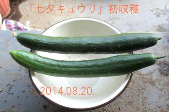 「七夕キュウリ」初収穫20143.08.20.jpg