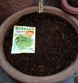 正月キヌサヤ種蒔き