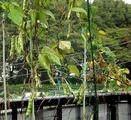 トラ豆2010.11.01.