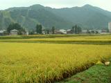 コシヒカリ2012.09.21