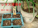 レタス種蒔き2011.04.22